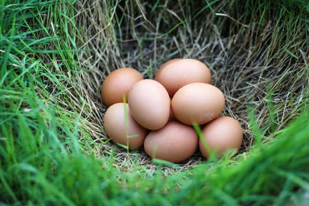Brown chicken eggs on green grass hole background , natural easter egg concept