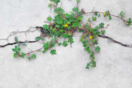 Small green plant with yellow flower patterns growing in concrete cracks floor or Common Yellow Woodsorrel on gray space background 版權商用圖片