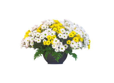 A pot of beautiful white and yellow flower