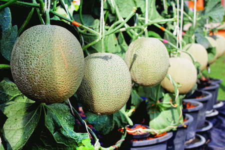Rock melons or green cantaloupes group hanging on tree