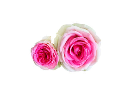 A beautiful white and pink rose on white