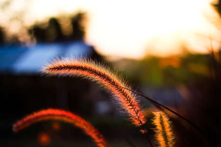 Close up needle grass flowers field, blooming with reflection light from sunset in the evening nature background