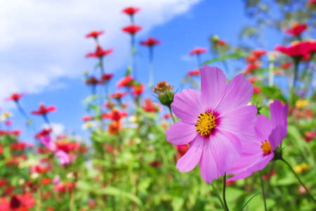Colorful cosmos blooming in garden background