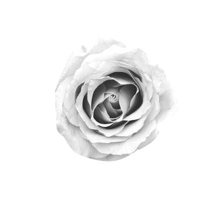Beautiful flower in monochrome isolated on white