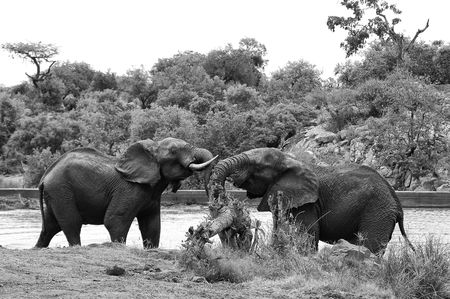 Elephants at the waters edge Фото со стока