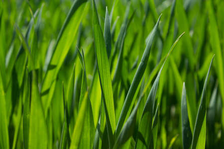 Thick grass close-up