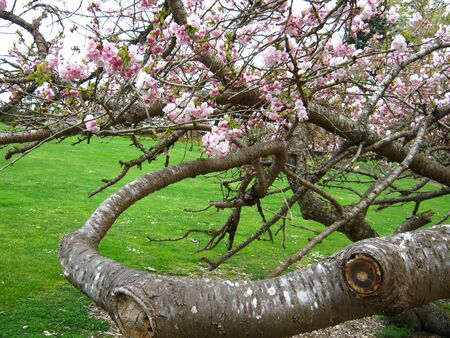 Cherry tree with twisted branches
