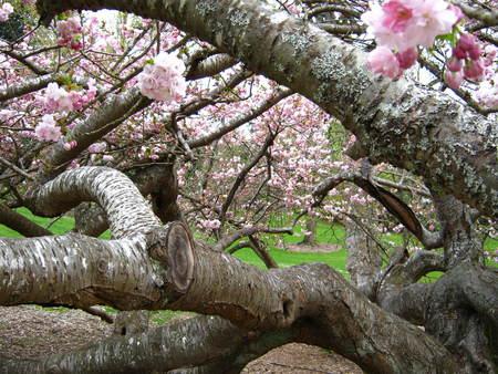 twisted cherry tree Imagens