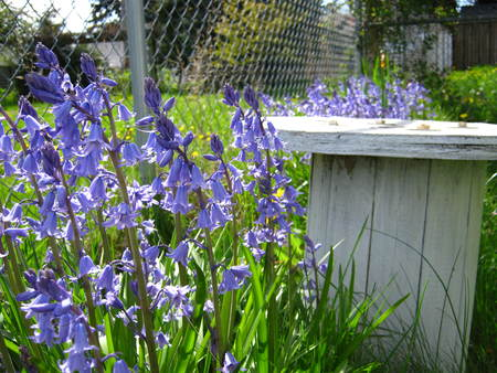 Hyacinth with white garden table and fence