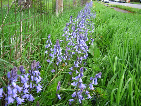 Hyacinth blue bells with country fence Banco de Imagens