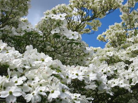 White dogwood flowers hiding blue sky stock photo picture and stock photo white dogwood flowers hiding blue sky mightylinksfo