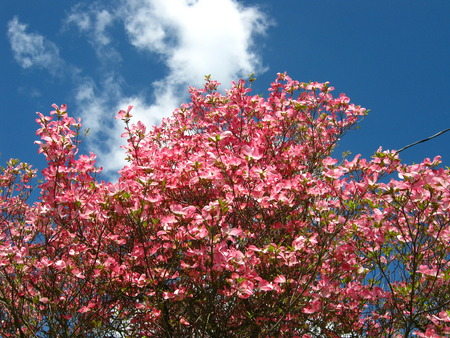 pink dogwood flowers distant