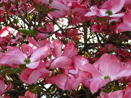 pink dogwood flowers close-up