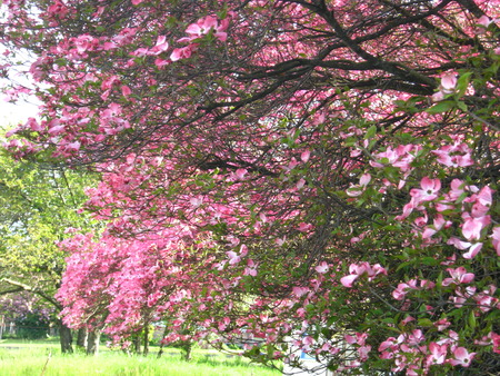 pink dogwood with trees and lawn Imagens