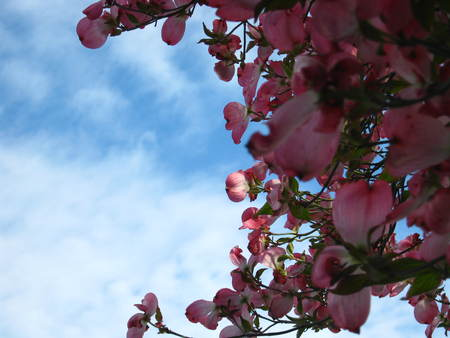 pink dogwood flowers crescent with blue sky