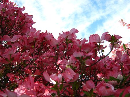 pink dogwood flowers with clouds Imagens