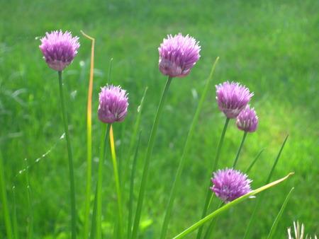 ニラの植物で花が芝生の上