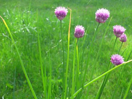 ニラの花植物 写真素材
