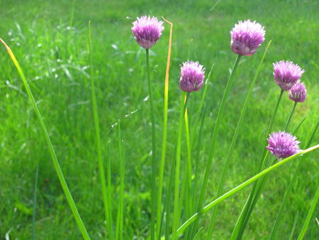 chive plant with flowers