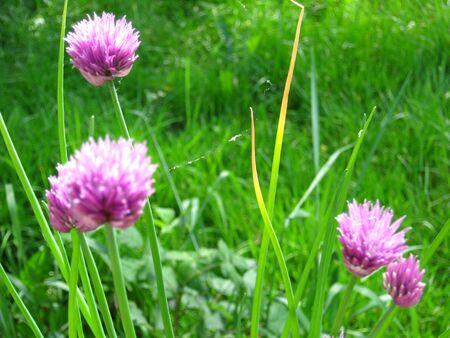 芝生の背景とニラの花