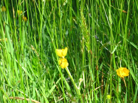 texture buttercups with grass