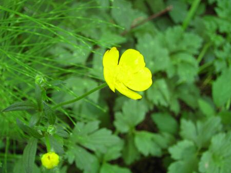 clovers: buttercup flower with clovers