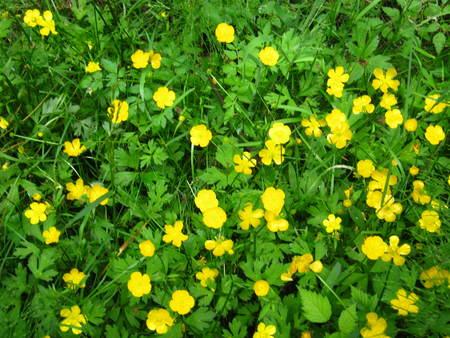 buttercups: texture buttercups