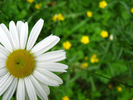 daisy in forground buttercup background