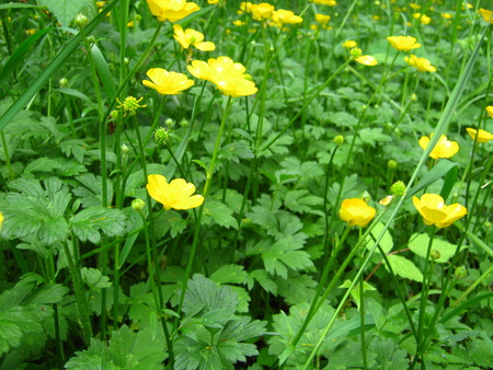 buttercups: buttercups with clovers Stock Photo