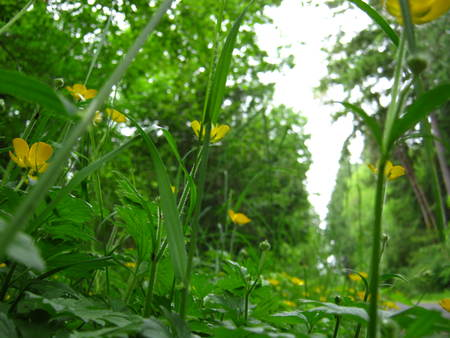 buttercups: buttercups ground- view Stock Photo