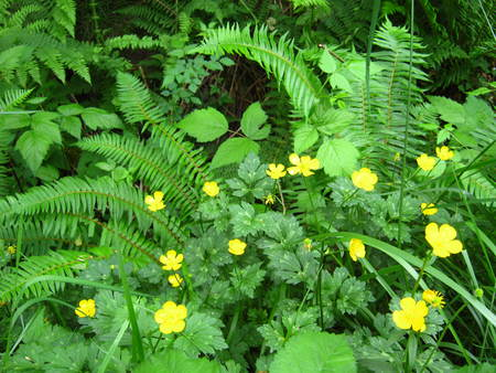 buttercups: buttercups with ferns Stock Photo