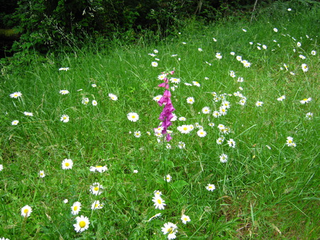 daisy meadow with foxglove in center