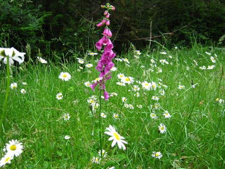 single foxglove in meadow of daisies