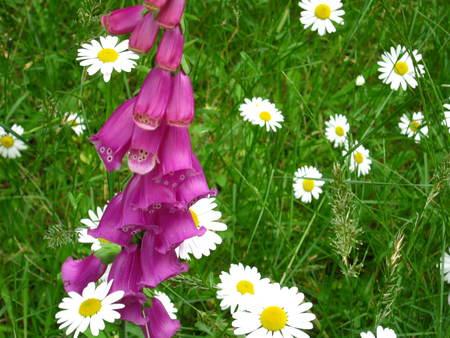 foxglove flower with daisies Фото со стока
