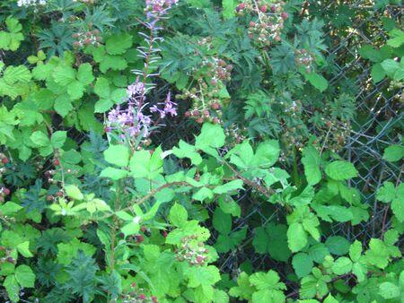 texture blackberry bushes Фото со стока