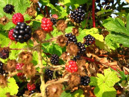 blackberry bush Фото со стока