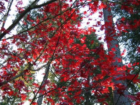 red leaves upward view Фото со стока
