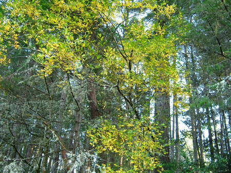 golden tree in the forest