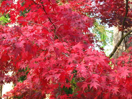 Japanese maple with red leaves