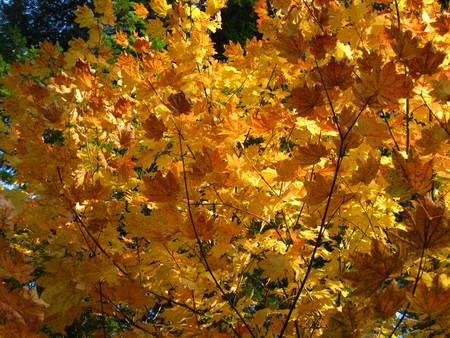 golden fall leaves Фото со стока