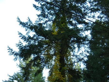 golden climbing ivy