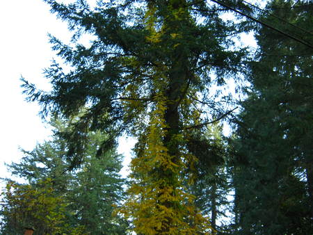 golden ivy Фото со стока