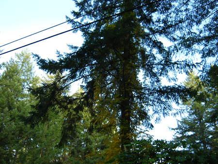 pine tree with golden ivy Фото со стока