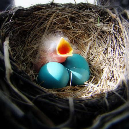 赤ちゃんロビンその母親から食べ物をお待ちしております 写真素材
