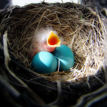 een baby robin wacht voedsel van haar moeder