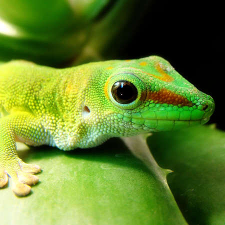 coldblooded: madagascar giant day gecko