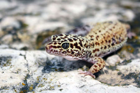 a healthy adult female leopard gecko