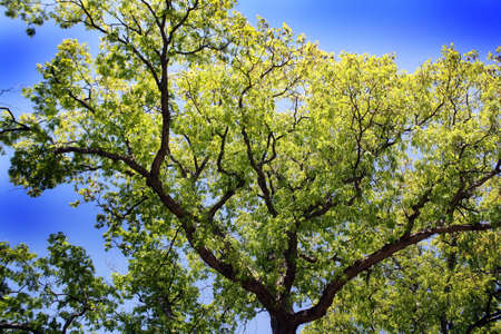 alto albero con cielo blu  Archivio Fotografico