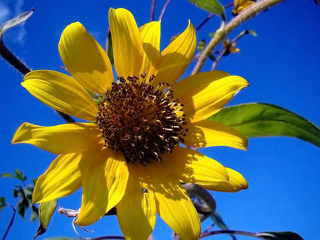 a big bright sunflower on a sunny day