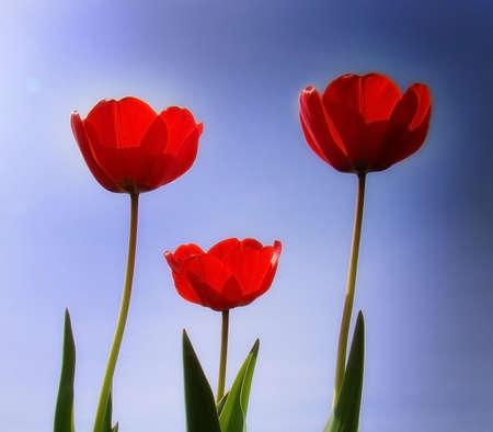 3 tulipani rossi che ondeggiano al vento in un giorno di sole  Archivio Fotografico